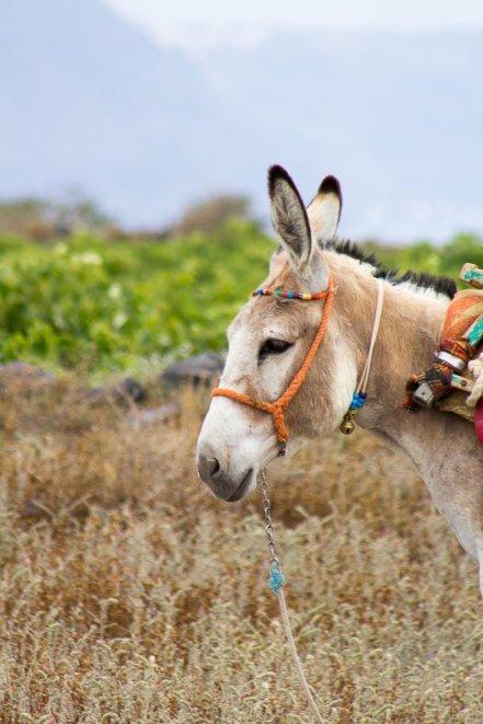 greece-santorini-donkey-2