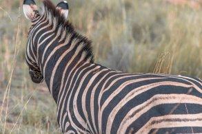 bakubang-bush-lodge-zebra