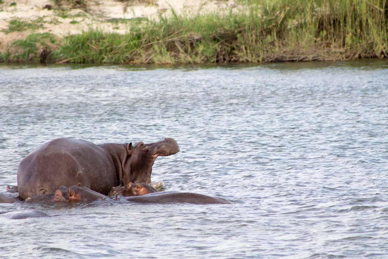 Hippos lounging in the Zambezi river