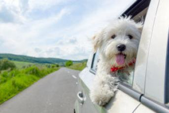 CarShare dog leaning out window