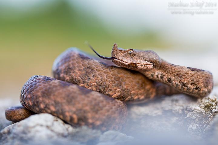 Europäische Hornotter, Vipera ammodytes, horned viper