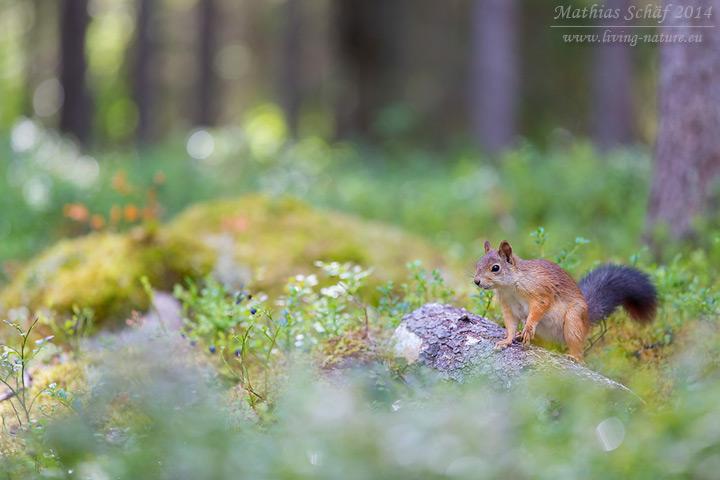 Eichhörnchen, Sciurus vulgaris vulgaris, red squirrel