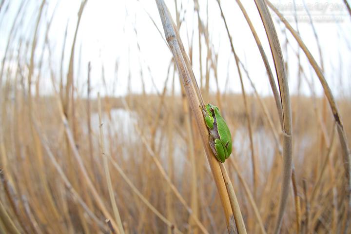 Europäischer Laubfrosch, Hyla arborea, European tree frog