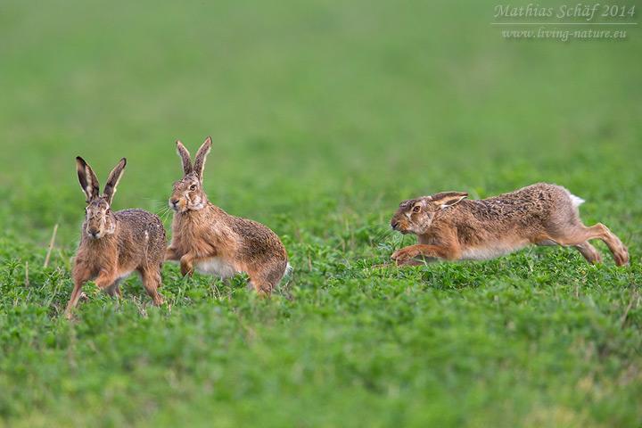Feldhase, Lepus europaeus, European Hare, Brown Hare