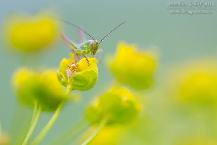Zweifarbige Beißschrecke, Metrioptera bicolor