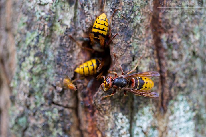Hornisse, European hornet, Vespa crabro