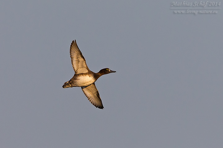 Reiherente, Tufted Duck, Aythya fuligula