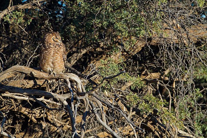 Fleckenuhu, Spotted Eagle Owl, Bubo africanus