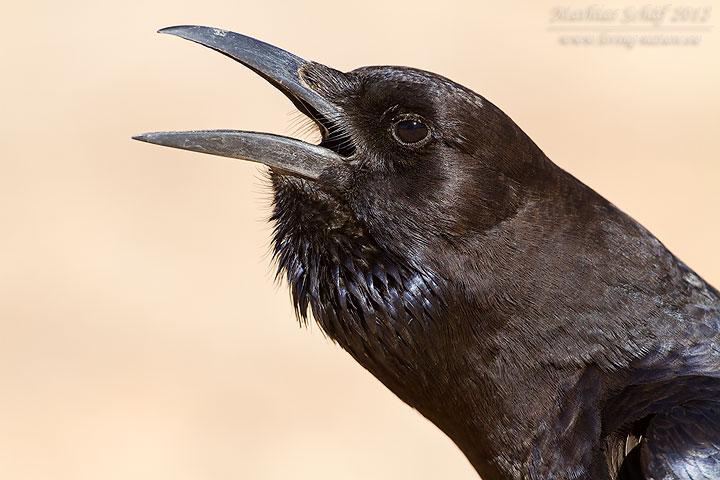 Kapkrähe, Black Crow, Cape Crow, Corvus capensis