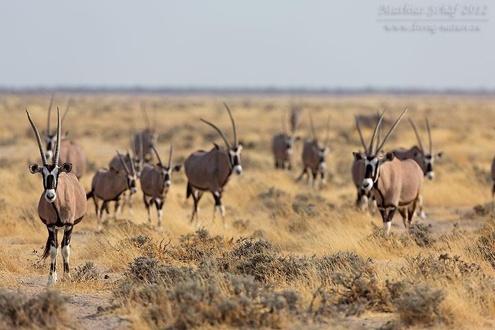 Spießbock, Gemsbock, Oryx gazella