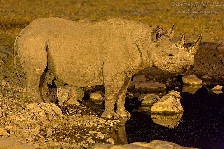 Spitzmaulnashorn, Black Rhinoceros, Diceros bicornis