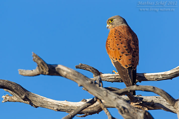 Turmfalke, Common Kestrel, Falco tinnunculus