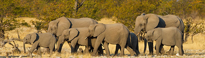 afrikanischer_elefant_mk4_94523