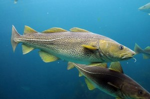 Cod / Atlantic Cod / Codling / Haberdine (Merluzzo atlantico) (Gadus morhua)