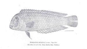 Wrasse, cleaver / Razorfish, pearly (Pesce pettine/U surici) (Xyrichtys novacula)