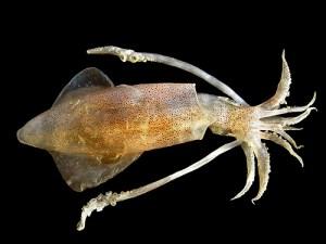 Common squid (Calamaro) (Loligo vulgaris)
