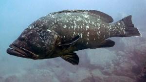 Dusky grouper (Cernia bruna / Guaza / Cernia marrone) (Epinephelus marginatus)