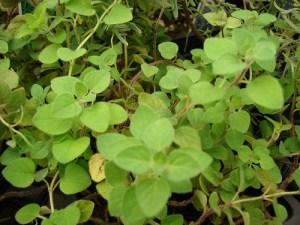 Greek Oregano (Origanum heracleoticum)