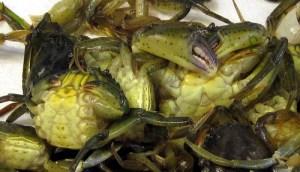 Green crabs