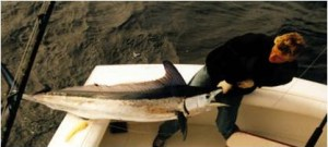 Spearfish, Mediterranean (Aguglia imperiale) (Tetrapturus belone)
