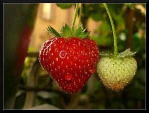 Strawberry / European wild strawberry/ Alpine strawberry (Fragola / Fragolina / Fragola di bosco / Fragola selvatica) (Fragaria / Fragaria vesca)