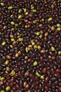 Olive (Oliva / Uliva) (Olea europaea sativa)