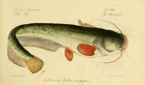 Catfish, Wels / Sheatfish (Siluro) (Silurus glanis)