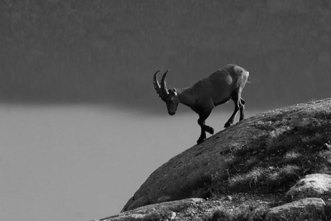 Antelope, camoscio