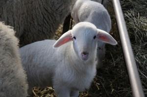 Lamb by Simone & Pino Berettoni