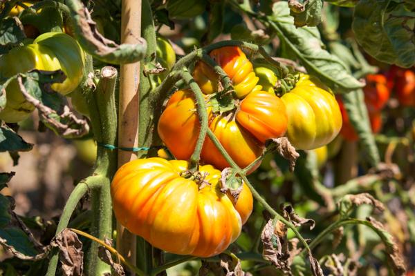Tomatoes grown at Trattoria Visconti