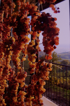 Grapes left to dry