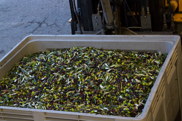 The olives being weighed