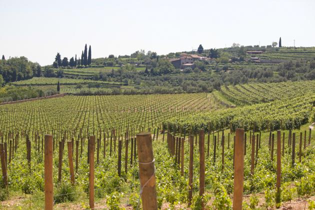 Allegrini vineyards surrounding Villa della Torre