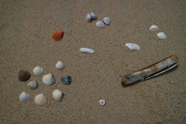Schelpen soorten Belgische kust