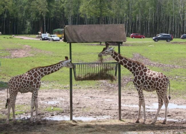 Giraffen in Monde Sauvage