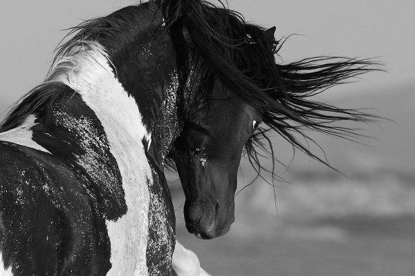 Black and White Stallion