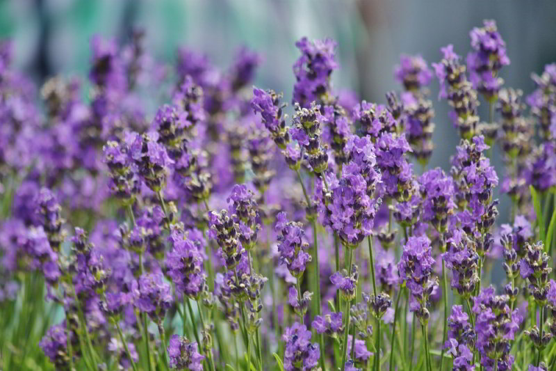 How to Prune Lavender in Italy