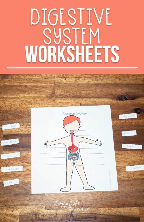 small resolution of Digestive System Worksheets for Kids