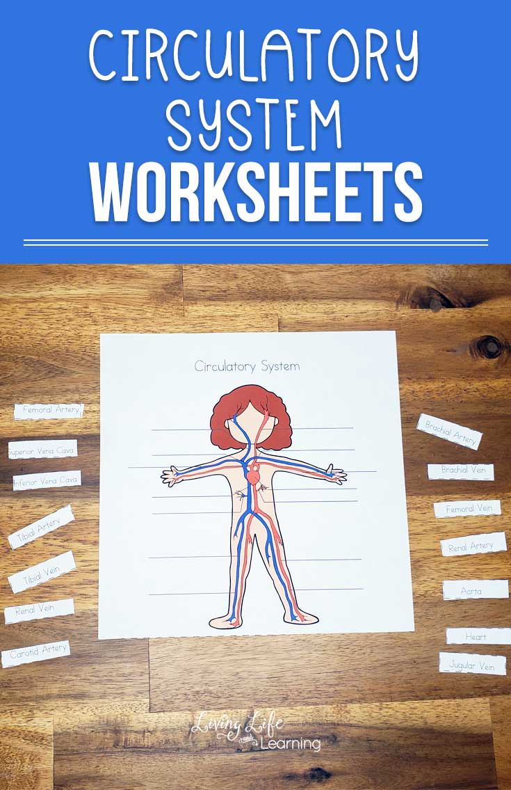 medium resolution of Circulatory System Worksheets for Kids