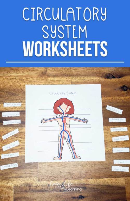 small resolution of Circulatory System Worksheets for Kids