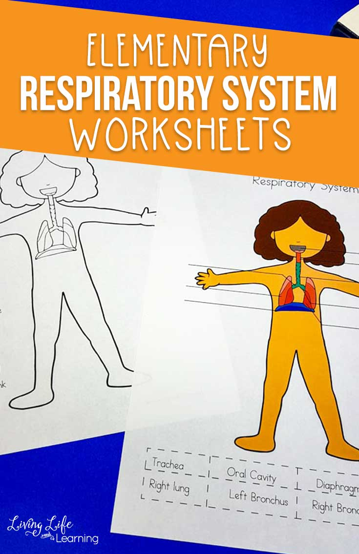 hight resolution of Respiratory System Worksheets for Kids