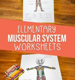 Muscular System Worksheets for Elementary Students [ 1135 x 735 Pixel ]