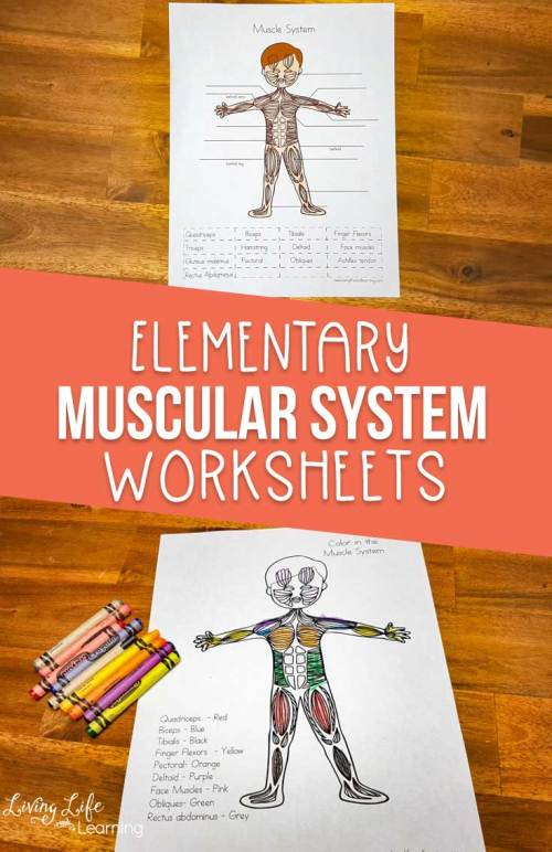small resolution of Muscular System Worksheets for Elementary Students