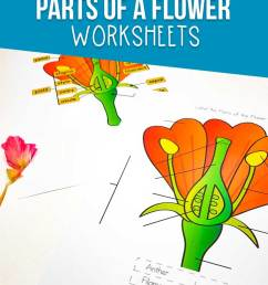 this parts of a flower worksheet is perfect for learning about flowers while you  [ 735 x 1135 Pixel ]