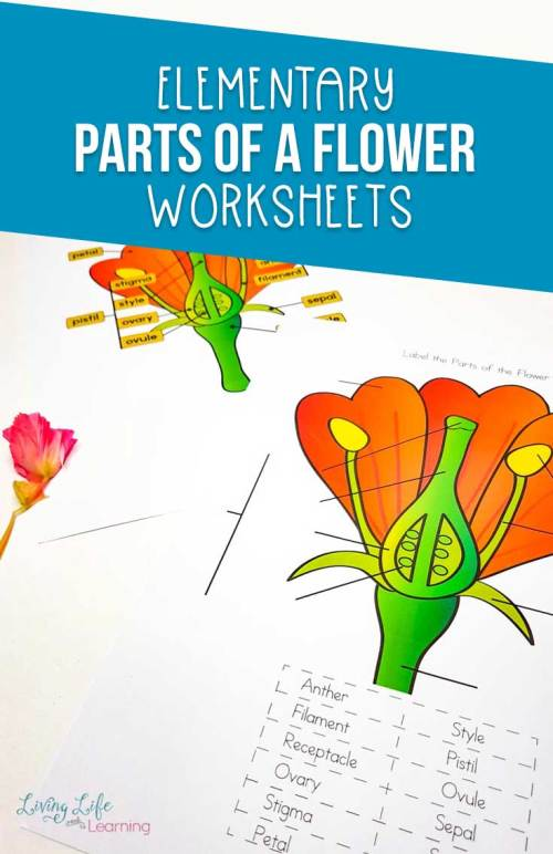 small resolution of this parts of a flower worksheet is perfect for learning about flowers while you