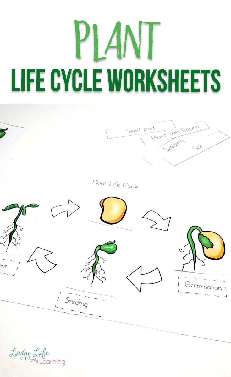 medium resolution of Plant Life Cycle Worksheets for Kids