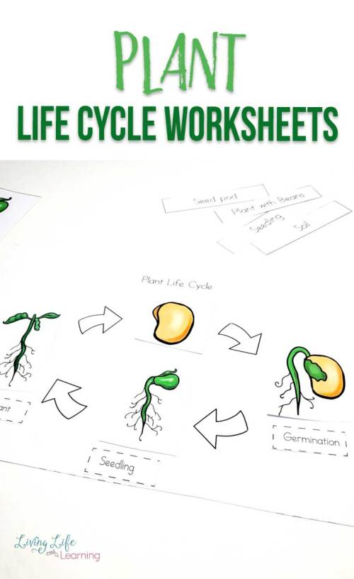 small resolution of Plant Life Cycle Worksheets for Kids
