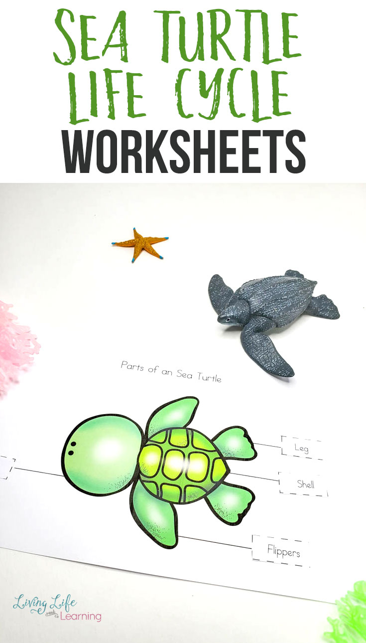 hight resolution of Sea Turtle Life Cycle Worksheets for Kids