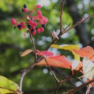 wild raisin