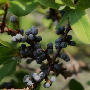 wild bayberry